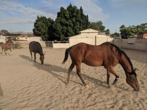 several horses in sandy paddock at saffyre sanctuary with buildings trees and mountains in the background