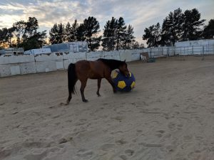 brown horse playing with blue and yellow ball at saffyre sanctuarybrown horse playing with blue and yellow ball at saffyre sanctuary